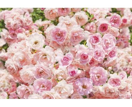 "8-937 Фотообои Komar ""Rosa"""