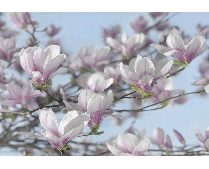 "8-738 Фотообои Komar ""Magnolia"""
